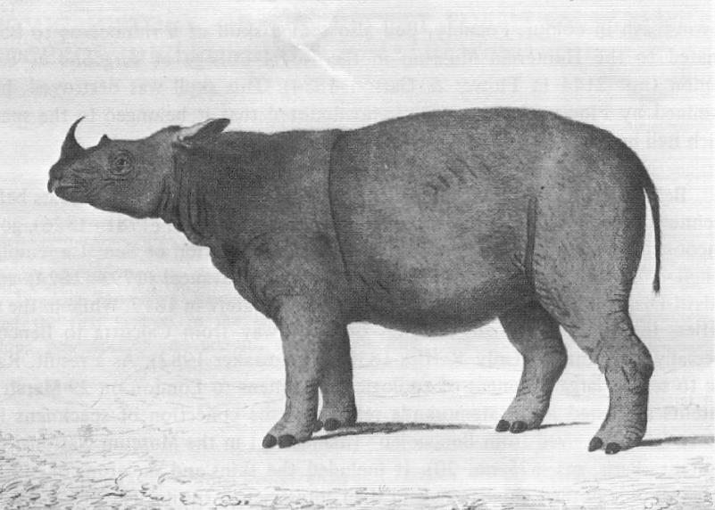 Sumatranashorn, William Bell, 1793, Gemeinfrei.