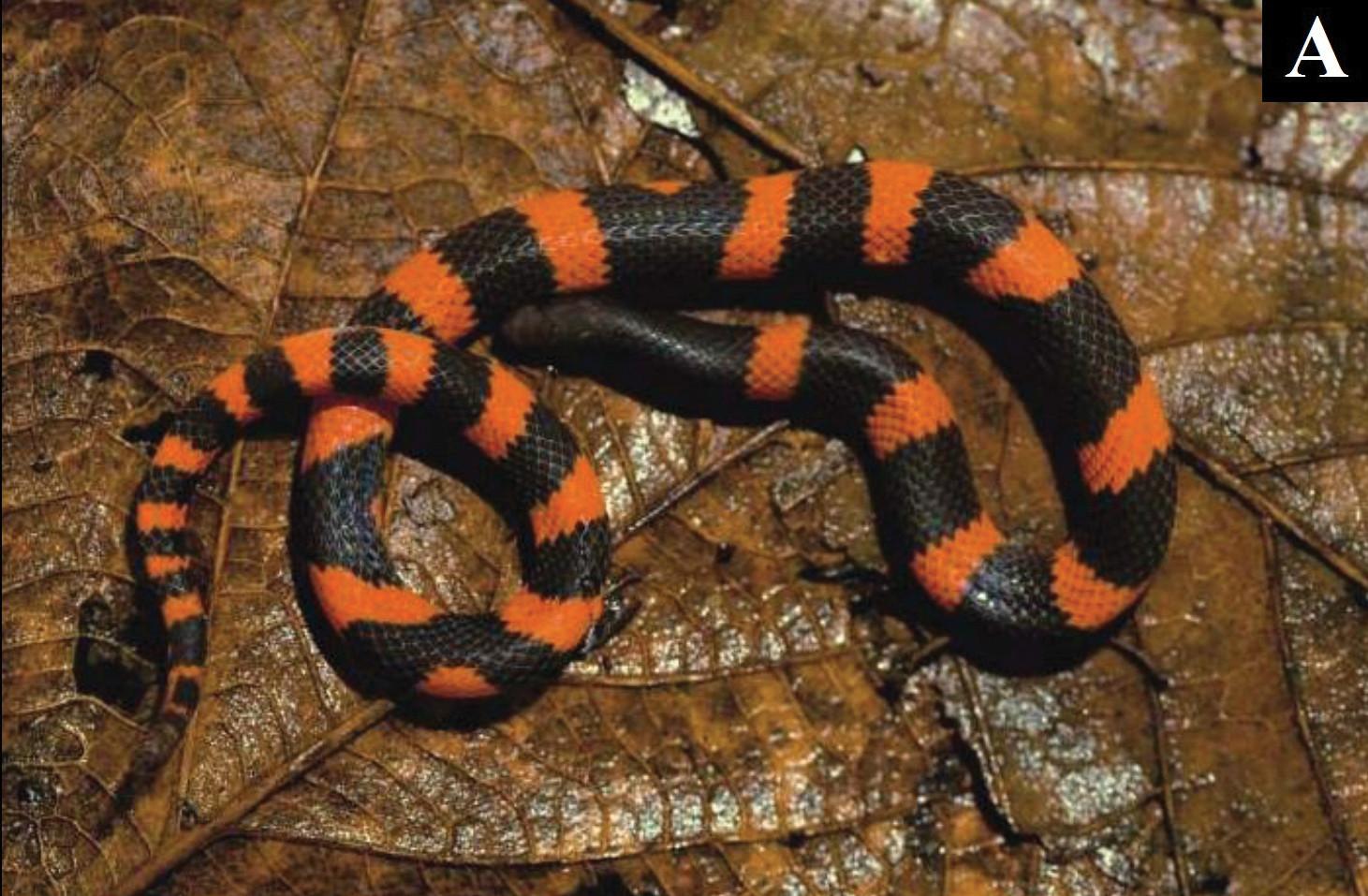 Geophis lorancai, die neue Art aus Mexiko.