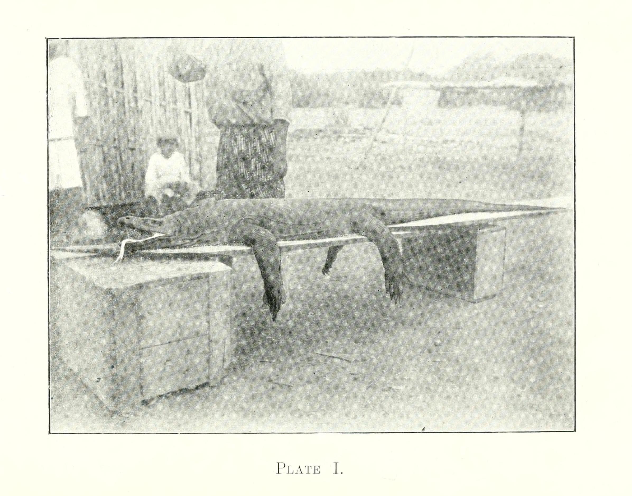 Der erste wissenschaftlich bekannte Komodowaran.