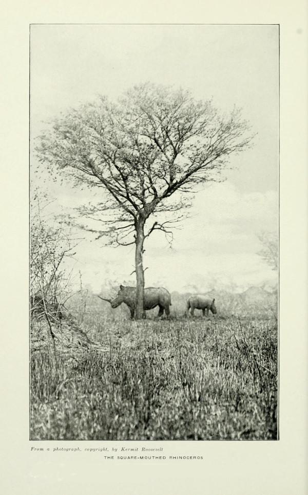 Nördliche Breitmaulnashörner. Foto: Kermit Roosevelt. Public domain.