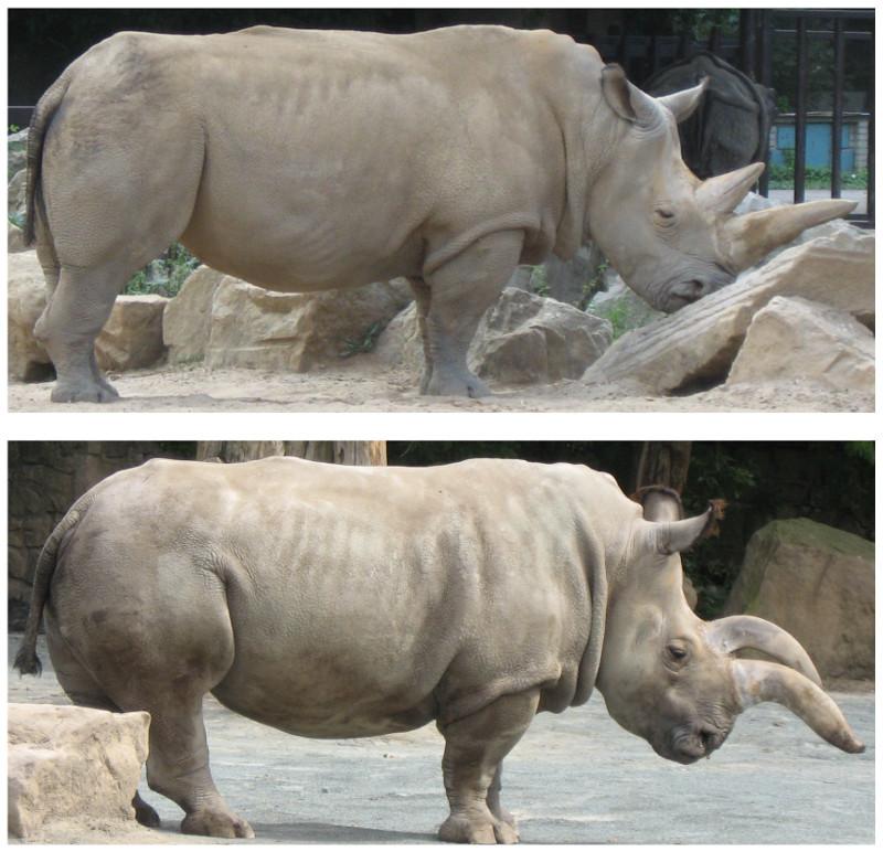 Suni, ein Männchen (oben) und Nabire, ein Weibchen (unten) im Zoo von Dvur Kralove, Tschechei. Beide Tiere sind inzwischen tot. Fotos: Jan Robowsky.